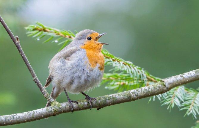 Quand les oiseaux doivent chanter autrement
