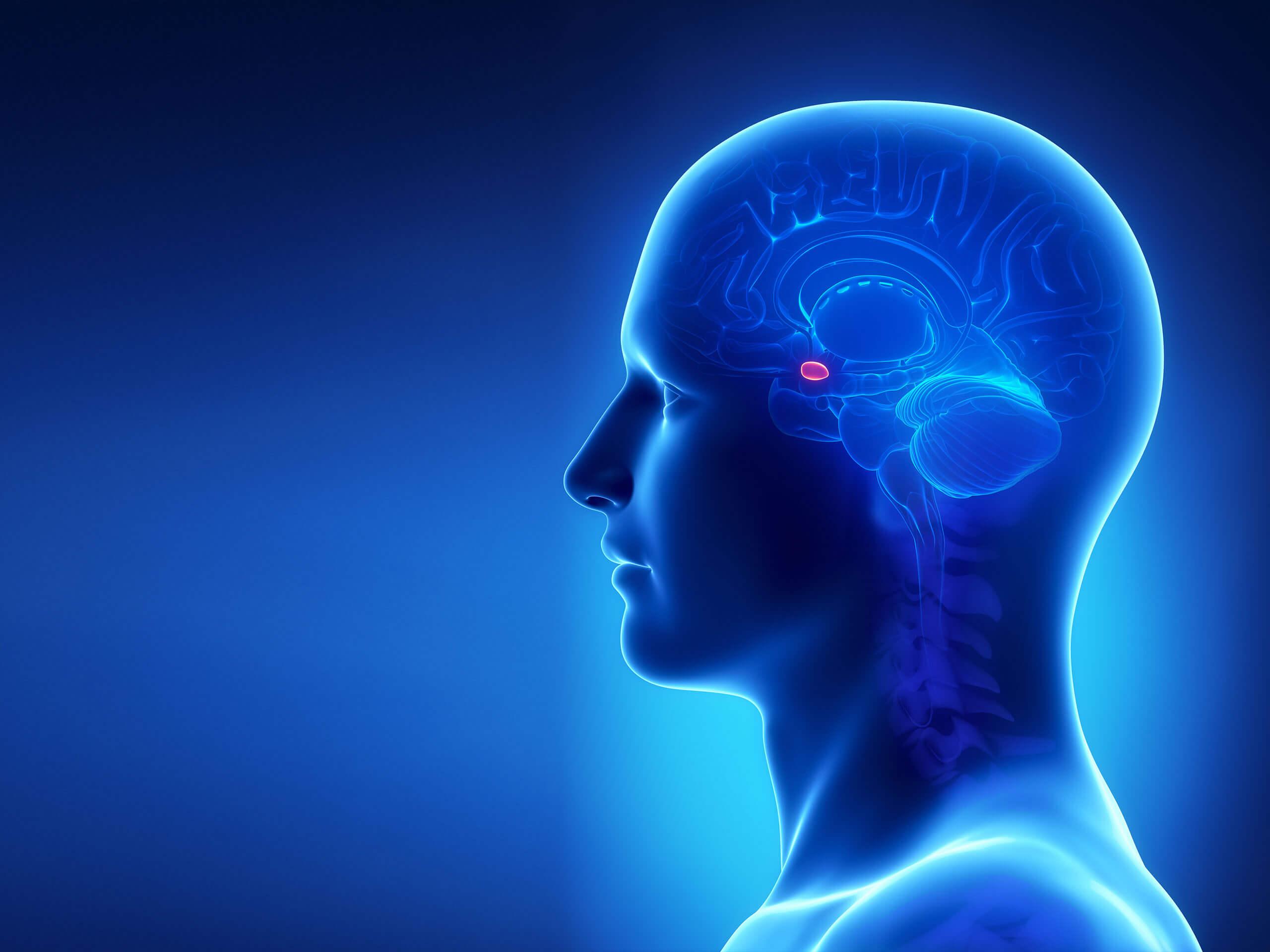 Le professeur Mathieu Piché s'intéresse plus particulièrement à l'amygdale, une petite structure du cerveau impliquée dans la douleur et les émotions.