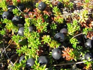 Plant de camarine, Kangirsujjuaq (Esther Lévesque).