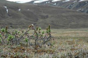 Arbuste de l'île Bylot (Nunavut).