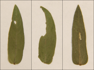 Différents types de dommages causés par les insectes herbivores. De gauche à droite : perforation, marge et membrane.