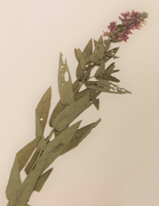Spécimen d'herbier de la salicaire pourpre